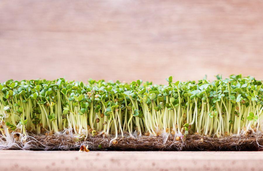 Микрогрин, или микрозелень: польза и применение, фото-3