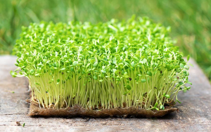 Микрогрин, или микрозелень: польза и применение, фото-1